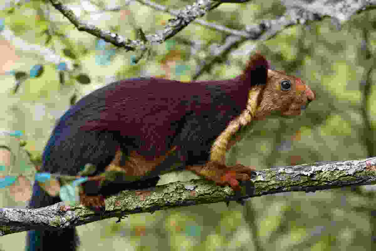 Indian giant squirrel (Axel Gomille)