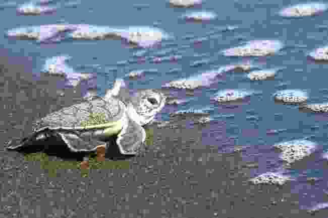 A baby green turtle in Tortuguero National Park, Costa Rica (Shutterstock)