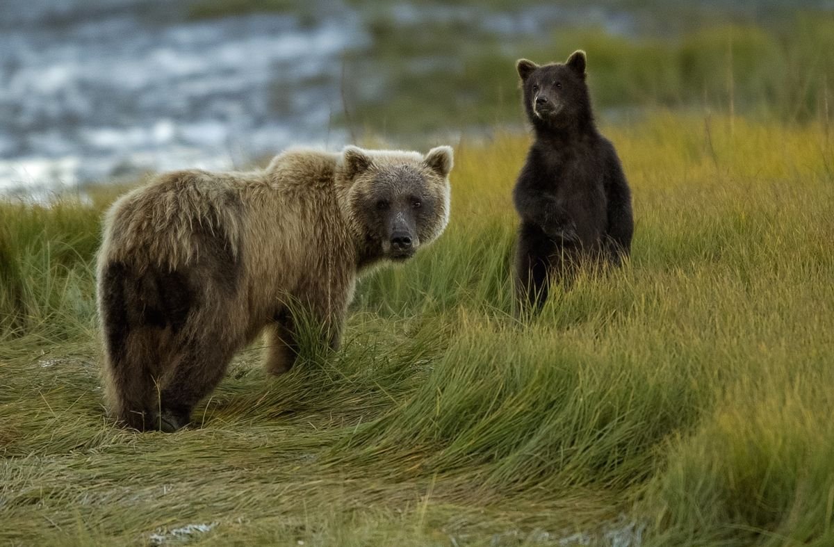 Grizzly bears in Alaska (Moose Peterson)