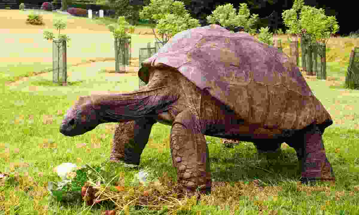 Meet Jonathon, the oldest Tortoise on the island (St Helena Tourist Board)