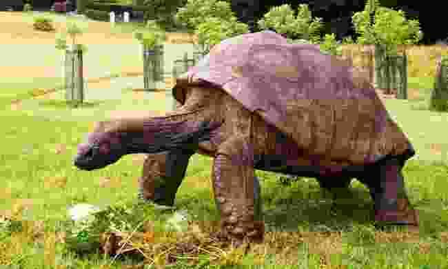 Meet Jonathon, the oldest Tortoise on the island (St Helena Tourist Board)