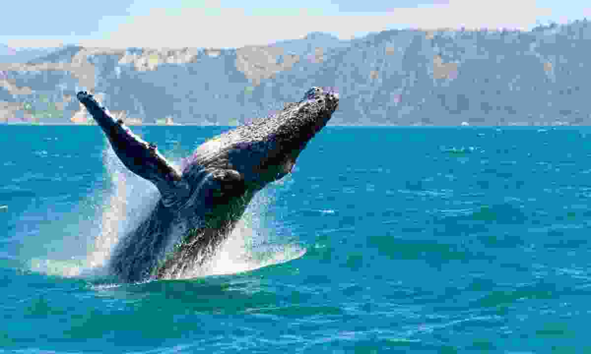 Humpback whale playing in Kaikoura (Shutterstock)
