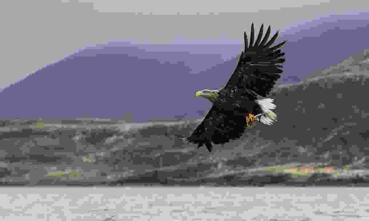 A white-tailed sea eagle off the coast of Mull (Shutterstock)