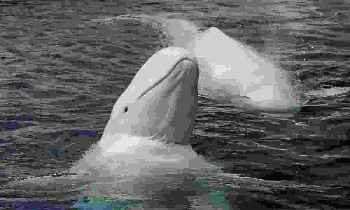 Watch Beluga whales in Russia's Far East (Shutterstock)