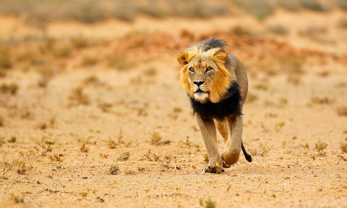 A black-maned male lion is simply irrestistible (Shutterstock)