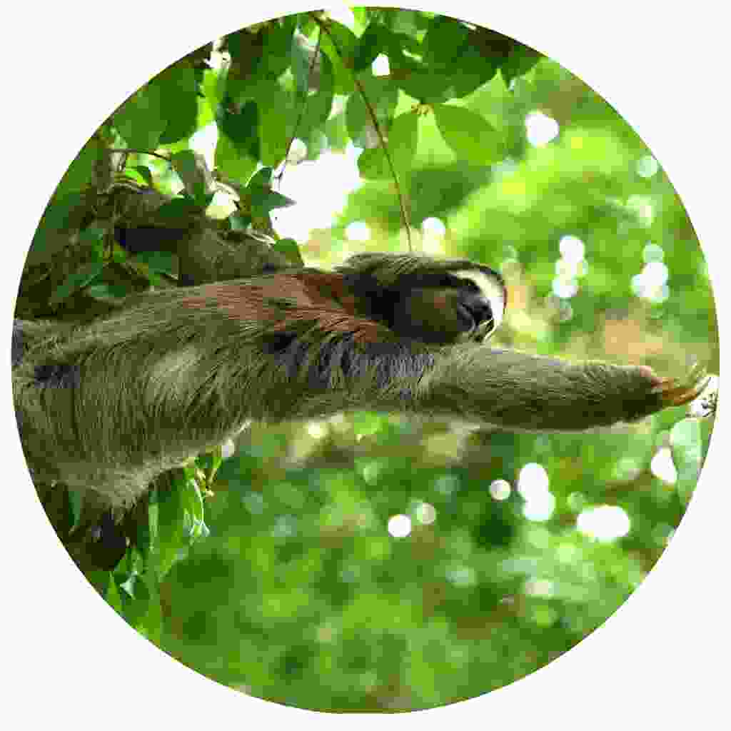 Look out for sloths while on a nighwalk (Shutterstock)
