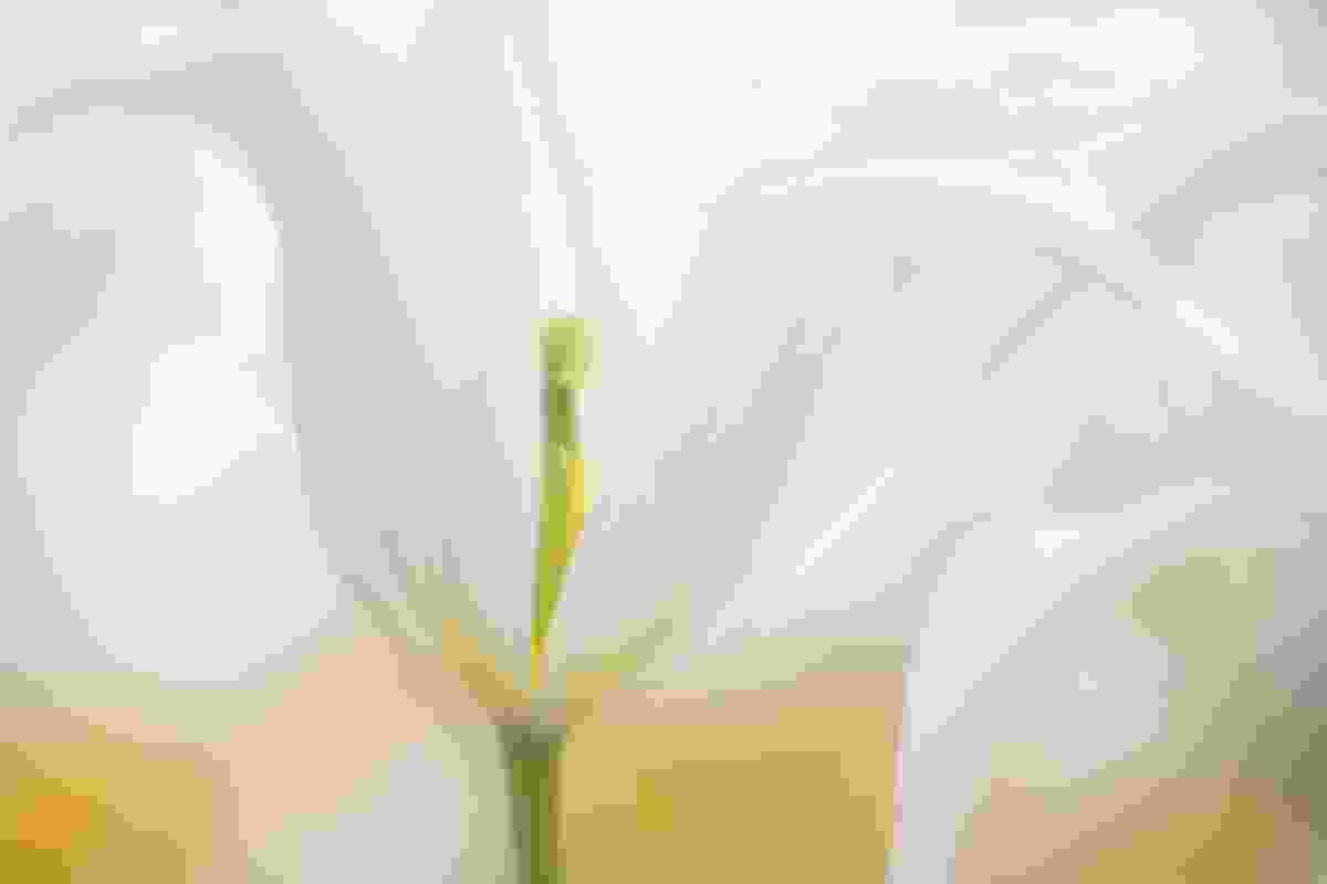 "Tulipa ""White Star"" (Sue Bishop)"