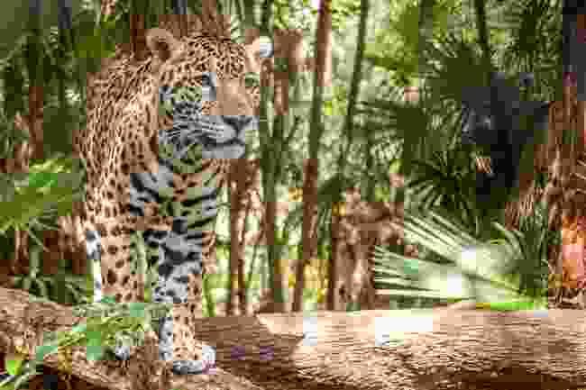 A jaguar in Belize (Shutterstock)