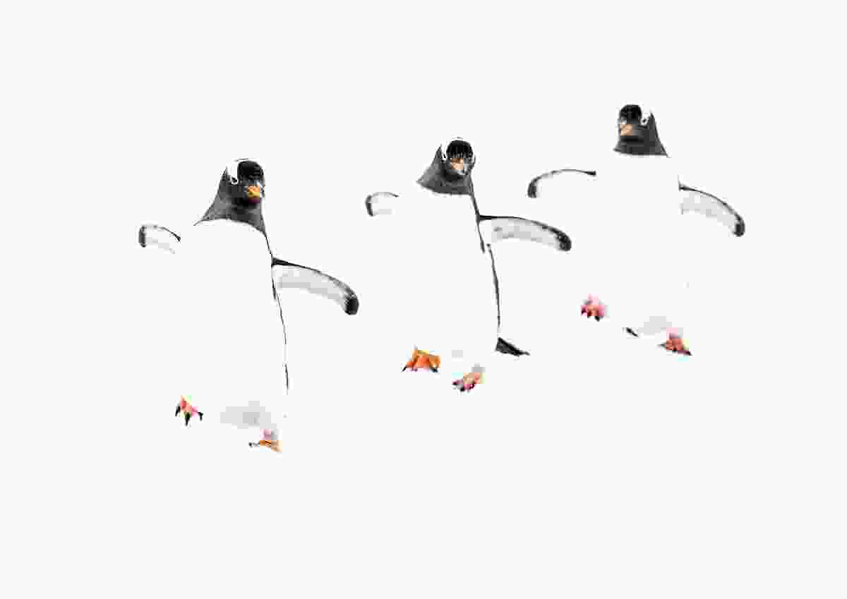 Synchronised dance, Rongé Island, Antarctic Peninsula (Renato Granieri)
