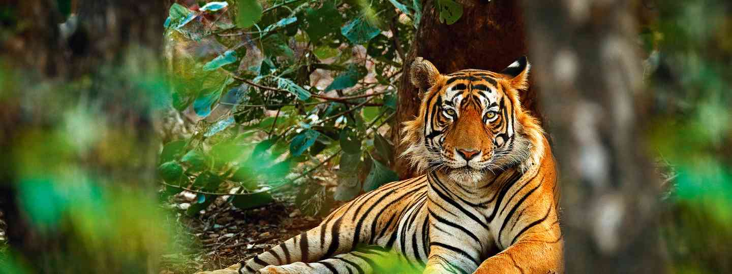 A male tiger in Ranthambhore National Park, India (Dreamstime)