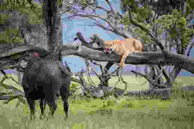 Okavango Delta, Botswana (Remembering Lions/Andy Biggs)