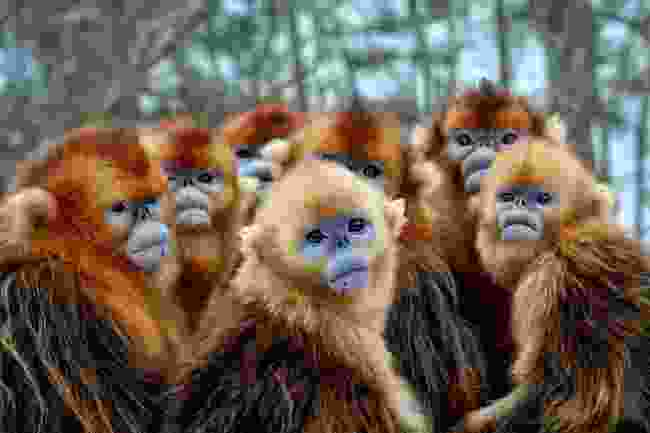 Golden snub-nosed monkeys in eastern China (BBC One, Seven Worlds, One Planet)