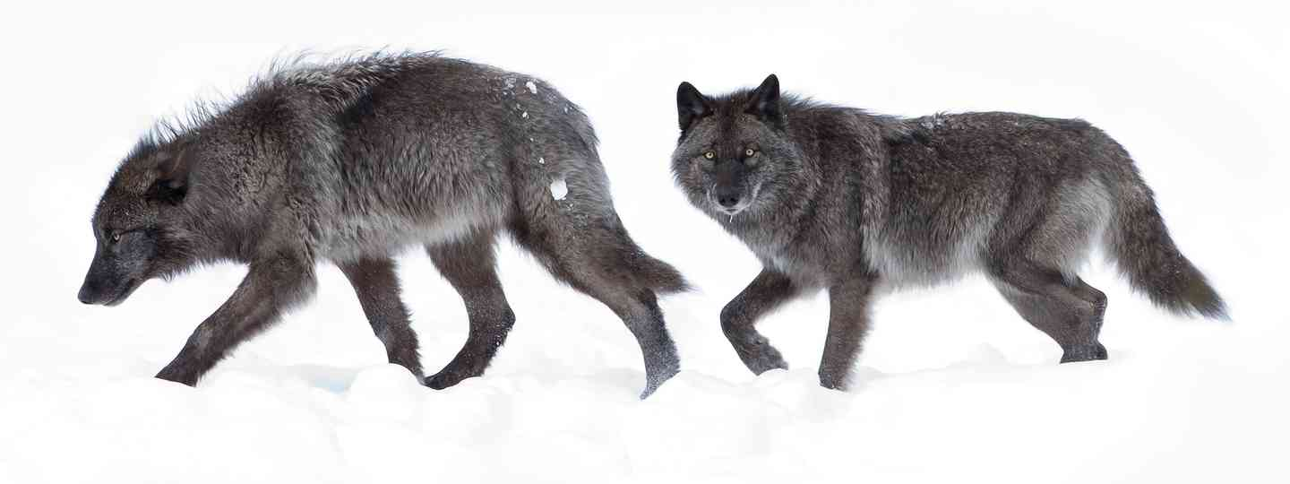 Canadian wolves in winter (Dreamstime)