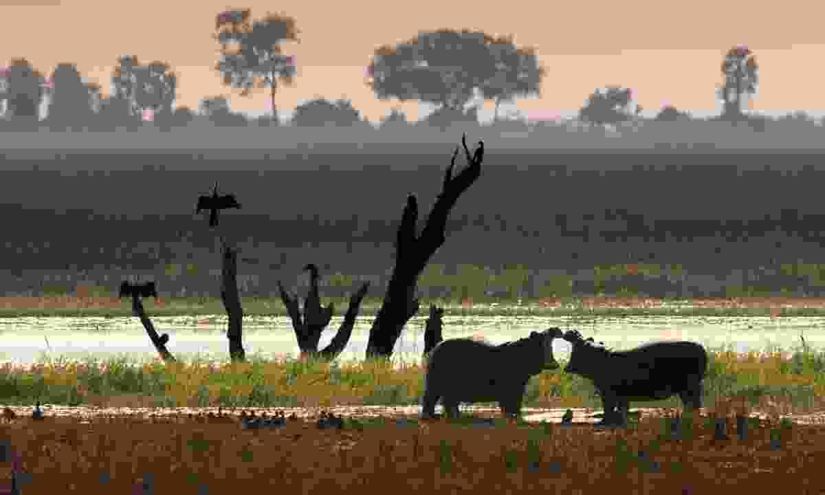 Hippos on the Okavango Delta (Dreamstime)