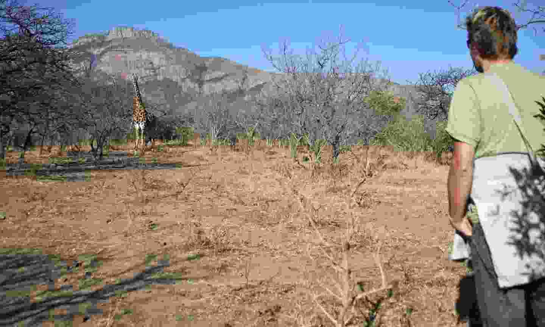 Encountering a giraffe on a walking safari (Dreamstime)