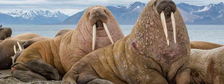 Walrus in Svarlbad (Shutterstock)