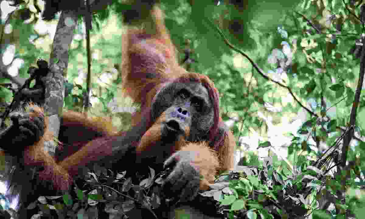 Spot the rare orangutan at Gunung Leuser National Park, Sumatra, Indonesia (Rickshaw Travel)