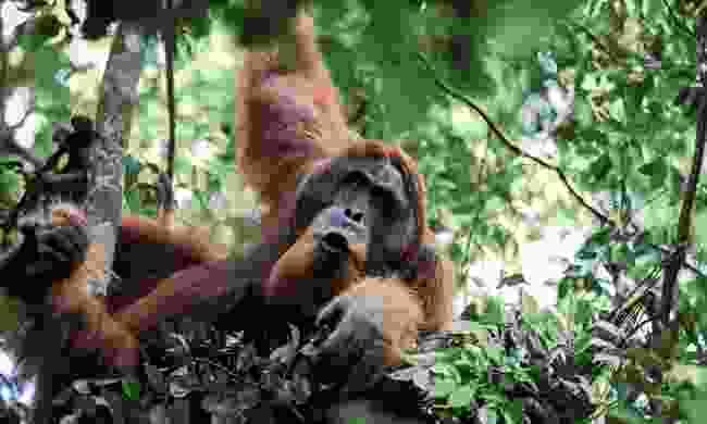 Spot the rare orangutan at Gunung Leuser National Park, Sumatra, Indonesia (Rickshaw Travel)