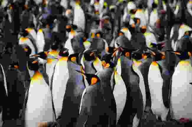 King penguins in South Georgia (Shutterstock)