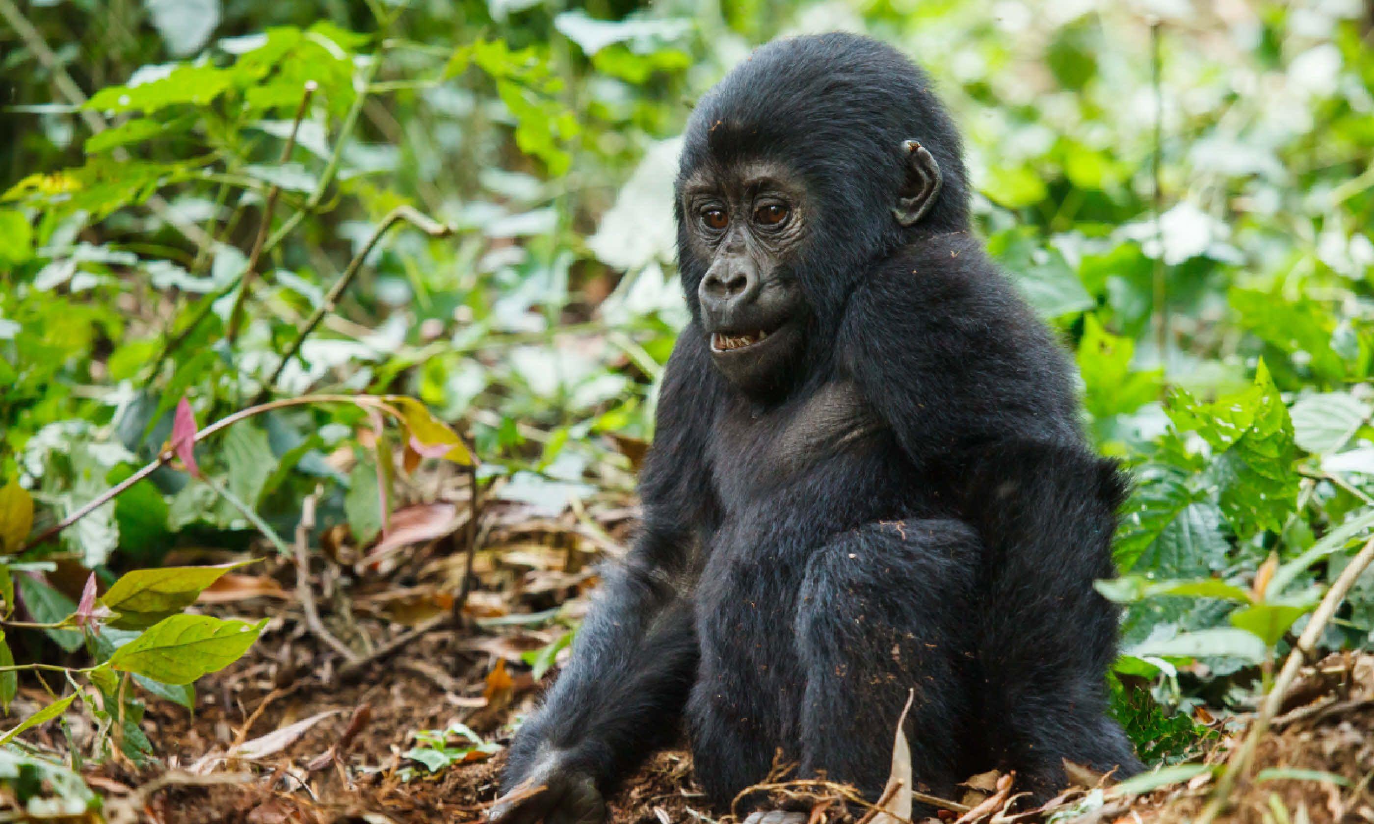 Baby gorilla, Uganda (Shutterstock)