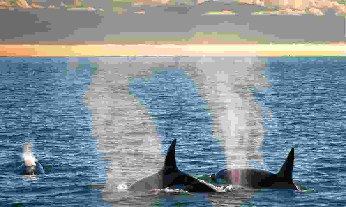 A couple of orca near San Juan Island (Shutterstock)
