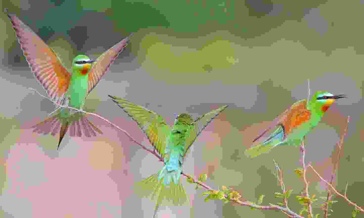 These beautiful blue-cheeked bee-eaters can be seen along the Amu-Bukhara canal (Shutterstock)
