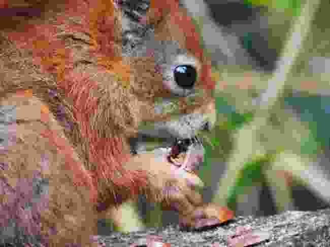 A red squirrel in the Tresco Gardens, Isles of Scilly (Wanderlust)