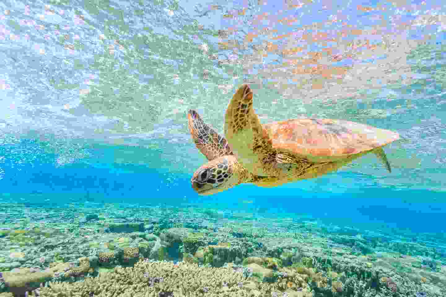 A turtle dives into the reef from Lady Elliot Island (Shutterstock)