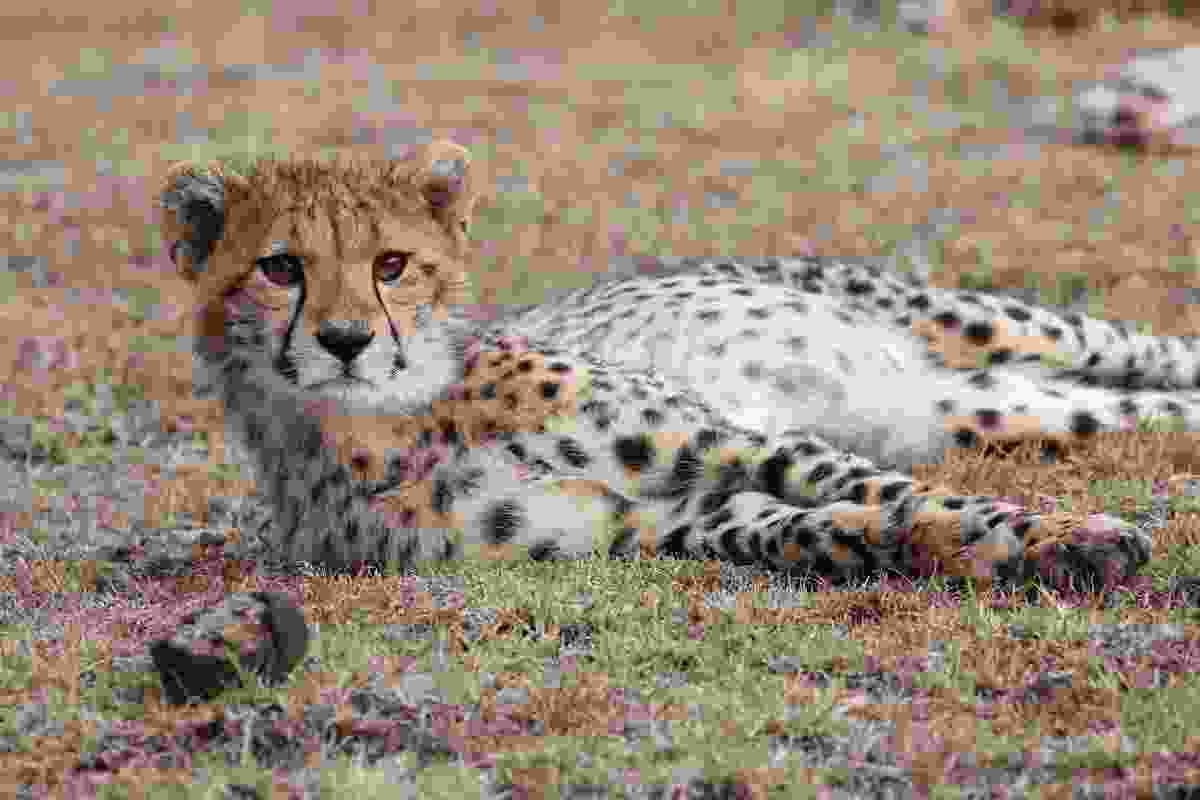 A young cheetah lazing in Mara Naboisho Conservancy, Kenya (Graeme Green)
