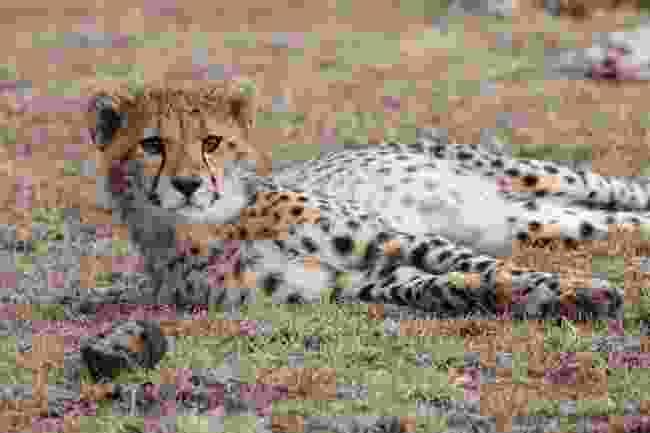 A young cheetah lazing in Mara Naboisho Conservancy, Kenya (Graeme Green)