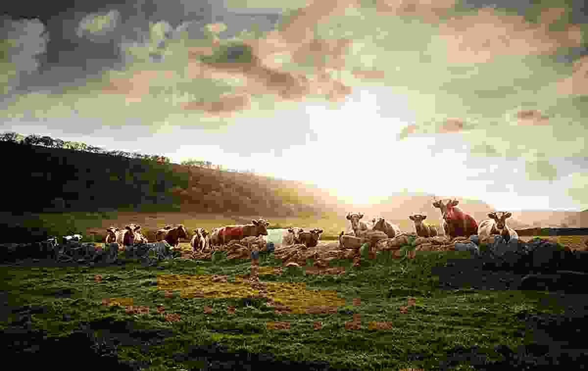 Shorthorn, North Yorkshire, Great Britain, © Werner Lampert GmbH, (Photo Ramona Waldner)
