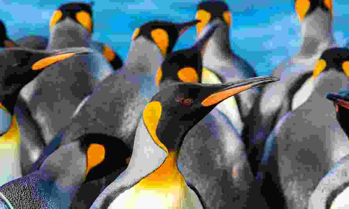 A king penguin surveys its busy surroundings (Dreamstime)