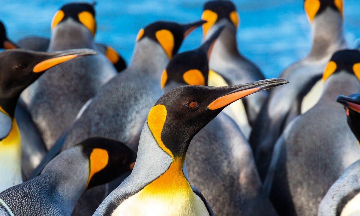 A king penguin surveys its busy surroundings (Dreamstime)