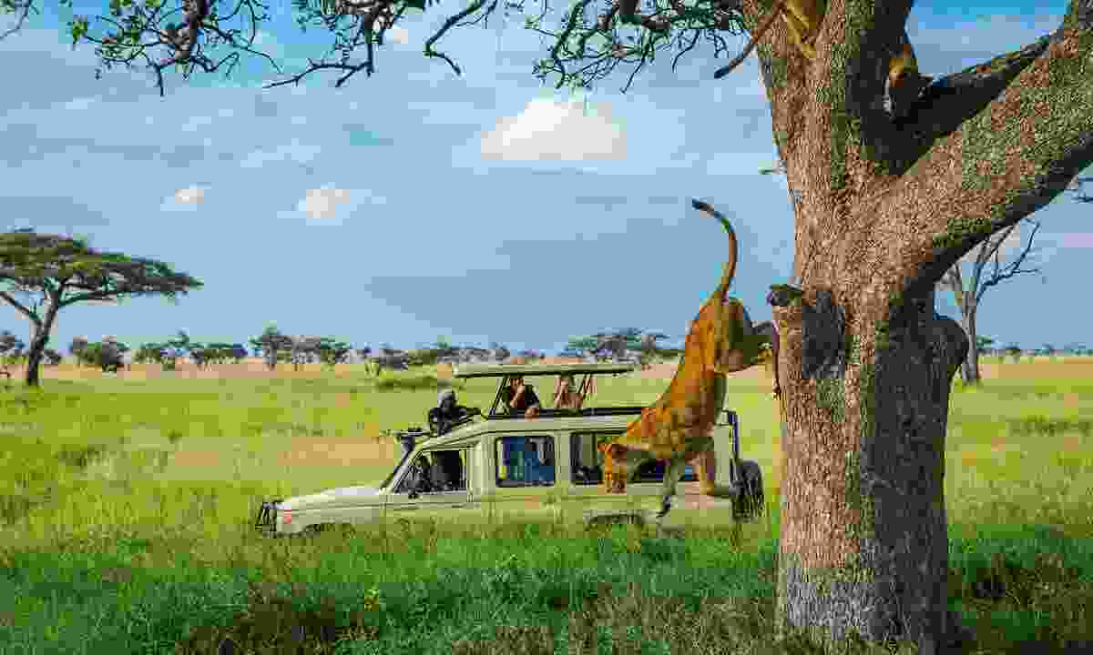 Tree lions: Whizz straight to the wildlife on a 4WD Serengeti safari (G Adventures)