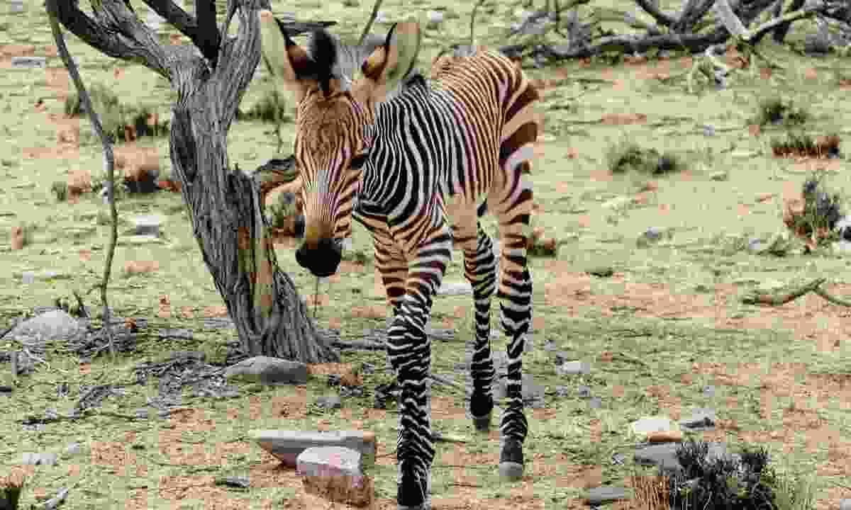 Hartmann's mountain zebra (Sarah Gilbert)