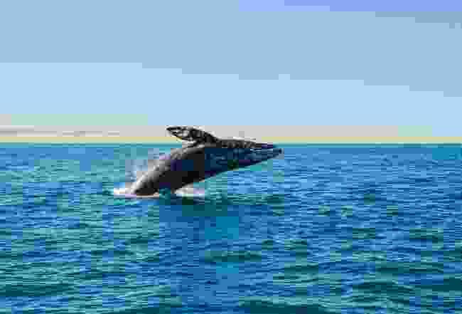 A grey whale in the Baja peninsula (Shutterstock)