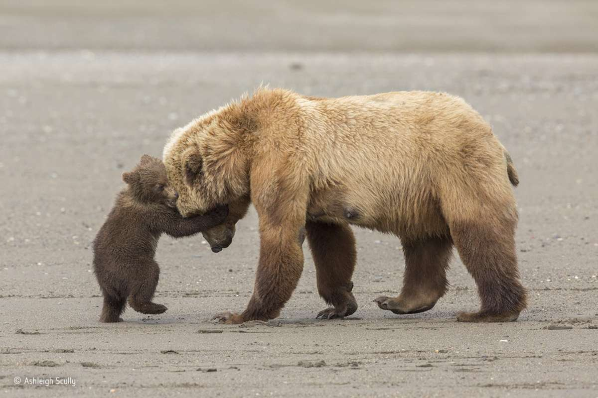 Bear hug. Young Wildlife Photographer of the Year, 11-14 years (Ashleigh Scully)