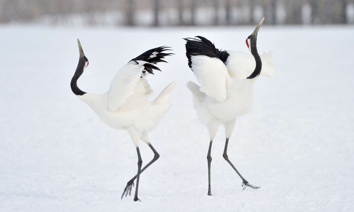 Cranes performing a courtship dance in Japan (Dreamstime)