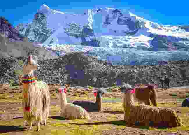 A pack of llama in Cordillera Vilcanota (Shutterstock)