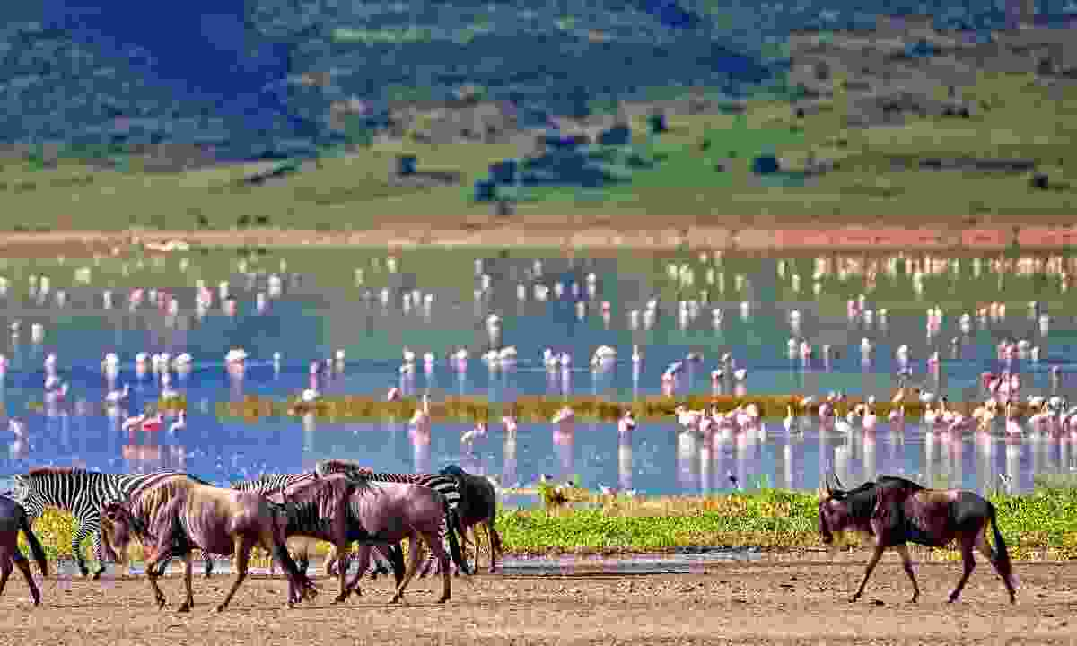 Zebras and a wildebeest walking beside a lake in Tanzania (Shutterstock)