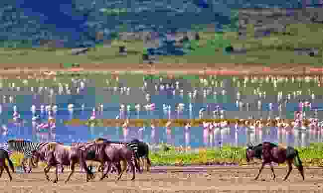 Zebras and a wildebeest walking beside a lake in Tanzania (Shutterstock)