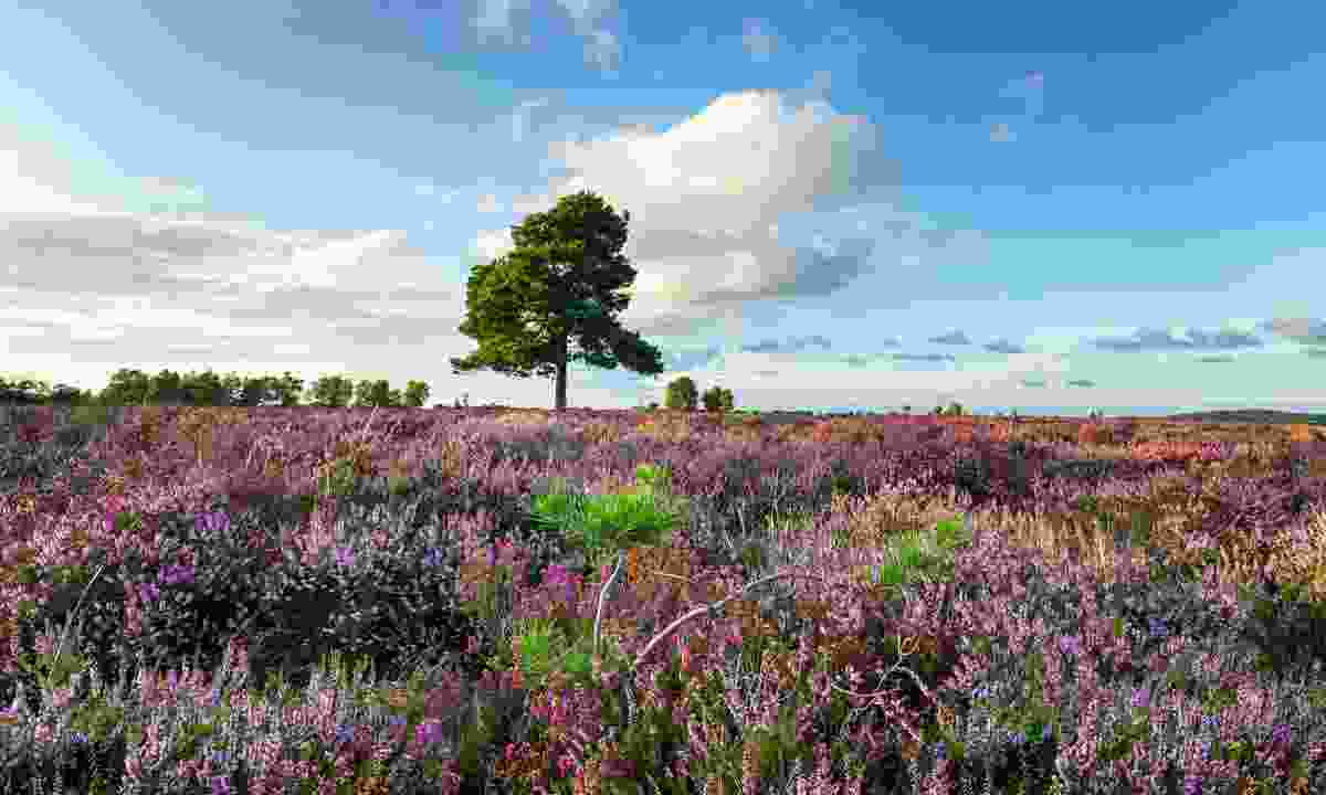 A carpet of purple heather in the New Forest (Shutterstock)