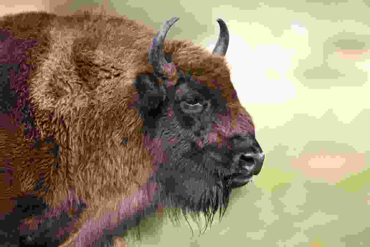 European Bison at the European Bison Show (Dreamstime)