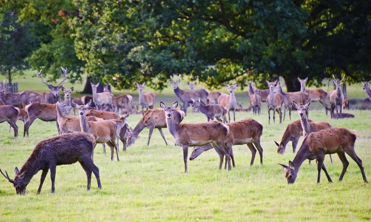 Windsor Great Park deer (Dreamstime)