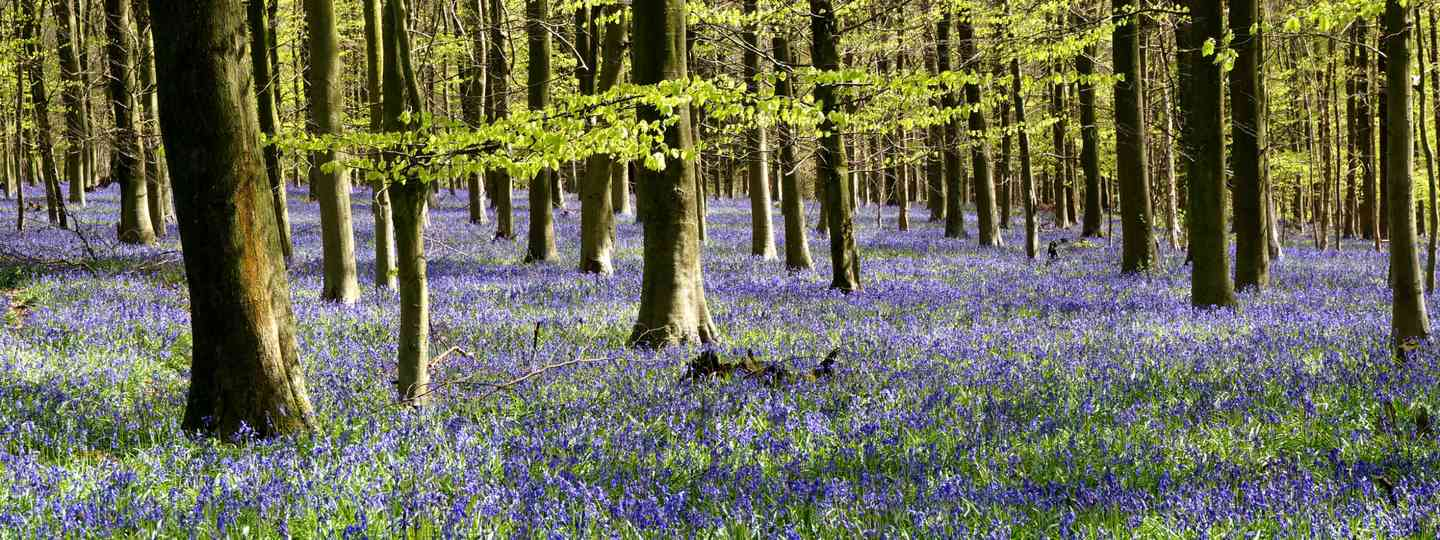 Bluebell wood in Kent (Dreamstime)