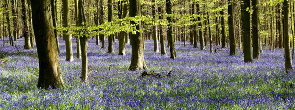 Admirable The Uks Best Woods For Bluebells Wanderlust Bralicious Painted Fabric Chair Ideas Braliciousco