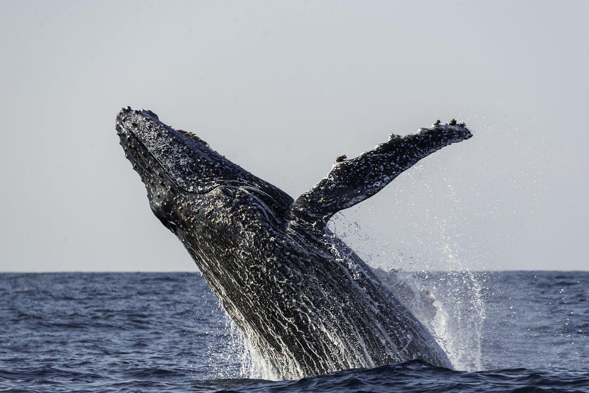 Humpback whale. (Dreamstime)