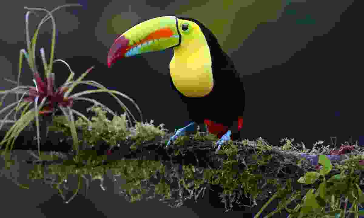A keel-billed toucan perched on a branch in Costa Rica (Dreamstime)