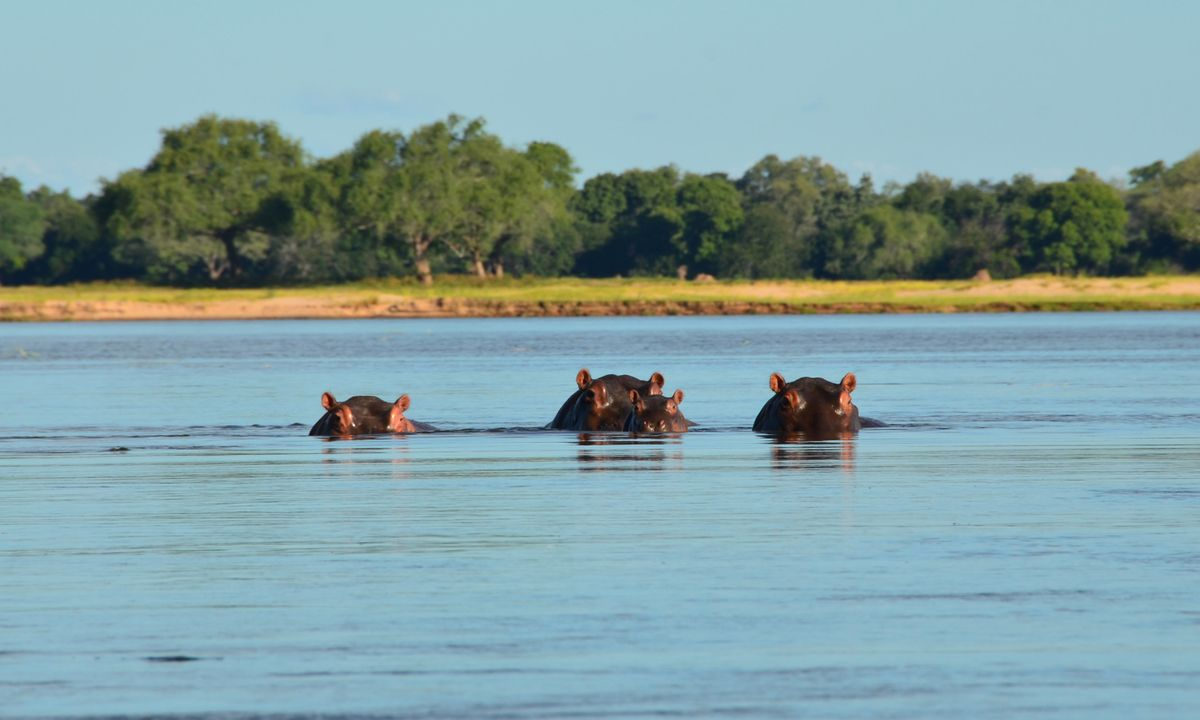 Hippos in the Zambezi River (Dreamstime)