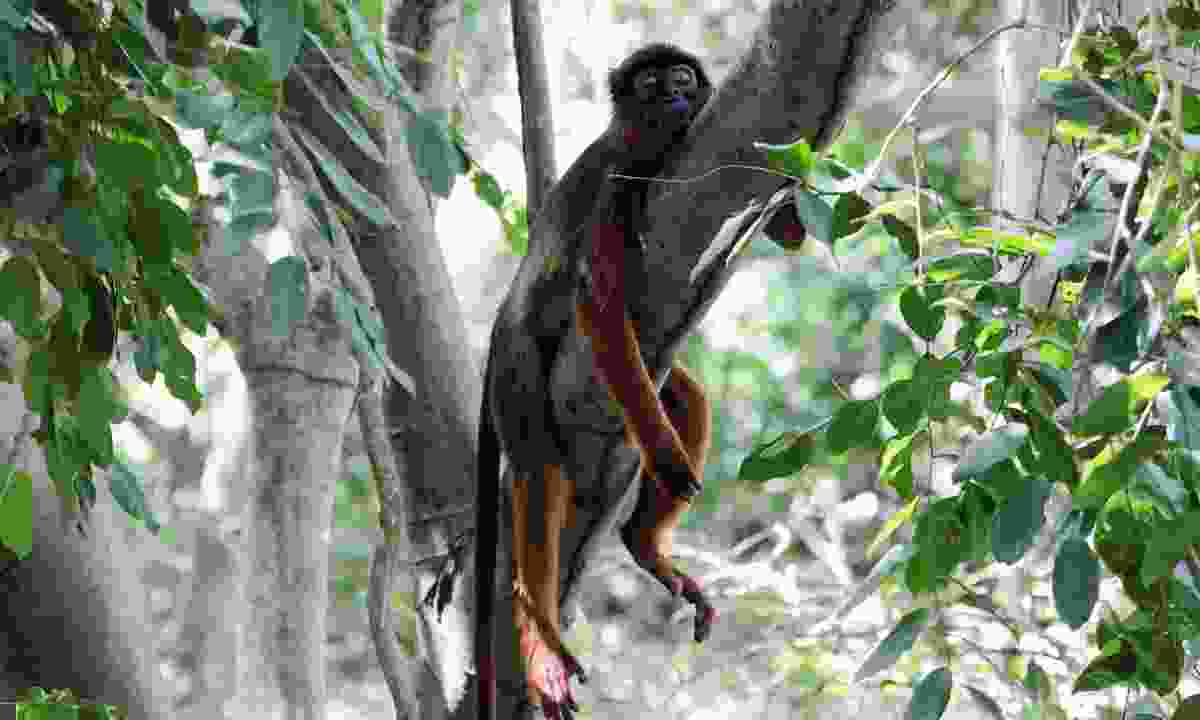 A western red colobus procolobus badius monkey resting on a branch (Dreamstime)